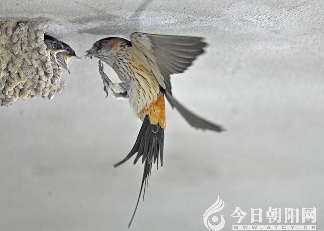 """金腰燕   金腰燕也是这个城市的古老居住者。金腰燕最显著的标志是有一条栗黄色的腰带,因此又名赤腰燕。金腰燕两翅狭长而尖,也有燕尾。金腰燕脚短而细弱,趾三前一后,所以金腰燕可以栖息在树枝或电线上。而家燕却从来都不在树枝上栖息。金腰燕的生活习性与家燕相似,有时候混飞在一起,速度却不如家燕迅速。金腰燕常常停翔在高空,这是它们独有的技巧。金腰燕的叫声比家燕响亮。金腰燕的巢穴呈长颈瓶状,筑巢精巧,我国民间自古称之为""""巧燕""""。但是燕都的金腰燕,它们因为无处筑巢的原因,往往选择摄像头、探照灯等很"""