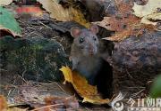 【今日朝阳网】老鼠阿灰争宠记——阿灰重生(王玉华)