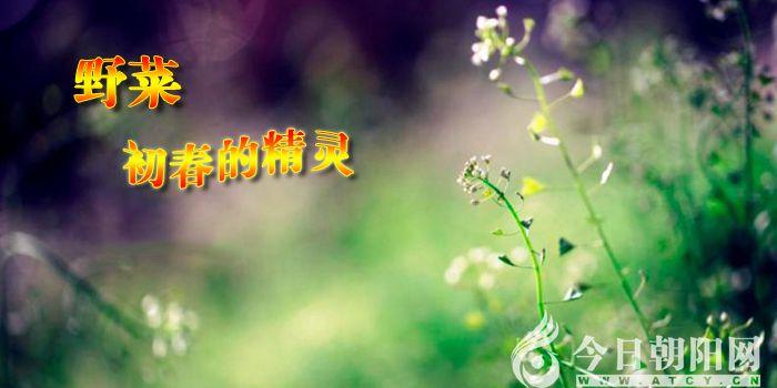 """【今日朝阳网】野菜,初春的精灵(任伶俐)"""""""