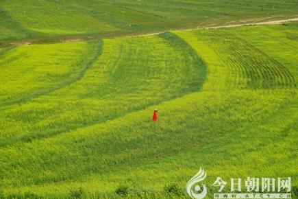 【今日朝阳网 摄影作品欣赏】这里有一片油菜花海(米铁成)