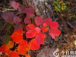 【摄影作品欣赏】深秋,与黄栌相伴(米铁成)