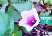 【今日天气】您见过地瓜开花吗?