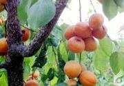 心中的甜杏(张美玉)