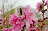 烂漫桃花朵朵开