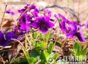 花姿百态——紫花地丁(陈玉民)