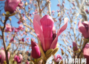 花姿百态——紫玉兰(陈玉民)